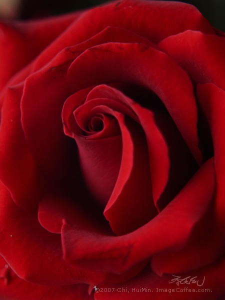 Rouge (red rose)