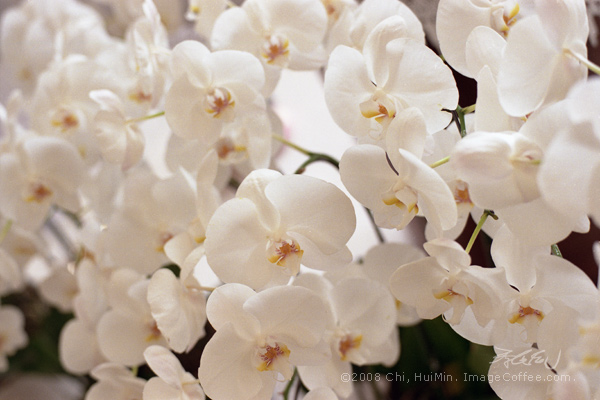 Orchids Blanc