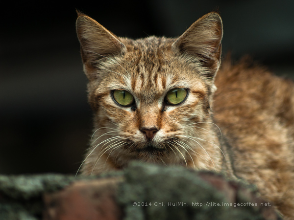 Cat in Wild (for Royality Free and download)