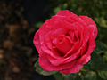Red Rose ( For RF download usage.)