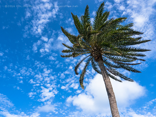 palm trees in the blue sunny sky 藍天棕梠樹下